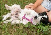 Little Shaggy Dog Lies In Grass Near Human Knee