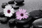 White and pink gerbera flowers on pebbles-wet background