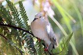 Ringneck Dove