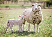 stock photo of suffolk sheep  - A white suffolk sheep with a lamb - JPG