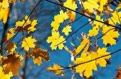 Yellow Autumn Leaves On A Maple Tree Against Bright Blue Sky