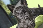 stock photo of scottish terrier  - Closeup portrait of a scottish terrier puppy indoor shot blurred interior - JPG
