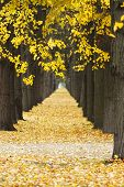 Beautiful Autumn alley with old trees and yellow leaves