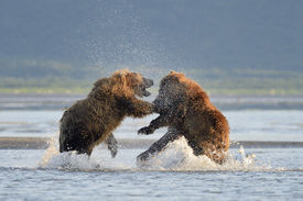 image of grizzly bear  - Two Grizzly Bears (Ursus arctos) fighting in water