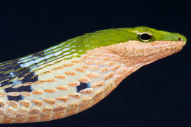foto of tree snake  - Twig snakes are rear fanged - JPG