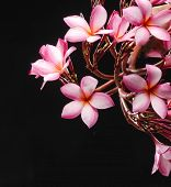 Glorious branch frangipani or plumeria flowers on black background