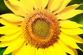 pic of sunflower  - sunflower with blue sky and beautiful sun  - JPG