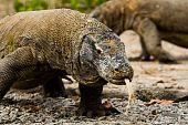Komodo Drachen suchen Essen