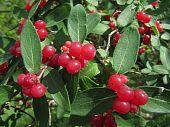 European Bittersweet or Nightshade Shot of Red Berries Taken At Bode Lake