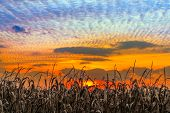 pic of glorious  - Autumn cornstalks are backed by a vibrant sunset sky in rural Indiana - JPG