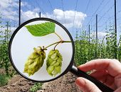 Humulus Lupulus In Hop Garden - Czech Agriculture - Ecological Farming
