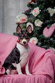 Pretty basenji puppy. Holidays. Christmas.