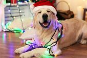Labrador in Santa hat lying with garland on wooden floor and Christmas decoration background