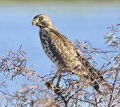 Sparrowhawk Perching On A Bush Branch