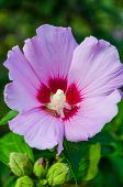 picture of hibiscus flower  - Purple hibiscus flower at dawn on green background ** Note: Shallow depth of field ** Note: Soft Focus at 100%, best at smaller sizes - JPG