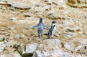 Islas Ballestas, Peru - Peruvian penguins