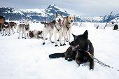 Sled Dogs Take A Rest Break