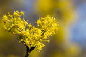 stock photo of dogwood  - Flowering dogwoods - Cornus mas Cornelian cherry European cornel