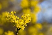 pic of dogwood  - Flowering dogwoods - Cornus mas Cornelian cherry European cornel