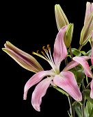 pic of day-lilies  - Pink day lilies isolated on a black background - JPG