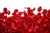 Rose petals on white ground