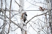 stock photo of pecker  - woodpecker on the birch wood at winter - JPG