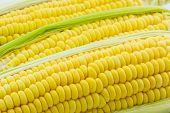 Fresh Organic Corn, Maize.