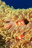 Family of Clownfish