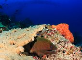 Giant Moray, Castle Rock.  Komodo