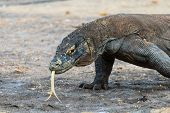 picture of komodo dragon  - A Komodo Dragon roams the mangroves tasting the ground with its tongue - JPG