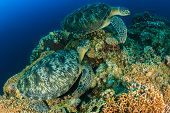 Two large turtles on a reef