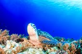 picture of sea-turtles  - Sea Turtle looking up from a coral reef with sunbeams behind - JPG