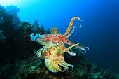 Pair Cuttlefish mating