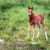 Baby colt in a farm in Central Kentucky