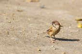 Sparrow with food in mouth standing on the ground