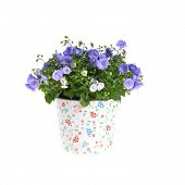 picture of flower pot  - blue campanula flowers in flower pot on white - JPG