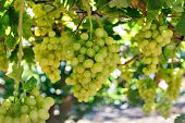 Green grapes over green background