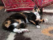 Tricolor Kitten Lying On Blanket