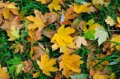 Autumn yellow leaves. Fallen leaves of maple.