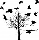 illustration with black dry large tree and crows silhouettes isolated on white background