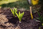 hyacinth bulbs planted in ground and shovel in spring sunny garden