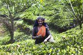MASKELIYA, SRI LANKA - JANUARY 6 : Female tea picker in tea plantation in Maskeliya, January 6, 2015. Directly and indirectly, over one million Sri Lankans are employed in the tea industry.