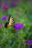 Yellow Butterfly on Purple Flower