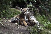 pic of tiger cub  - Portrait of two funny playing tiger cubs - JPG