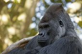 image of face-fungus  - Portrait of a gorilla - JPG
