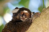 picture of marmosets  - A common marmoset climbed to a tree - JPG
