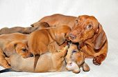 Dog mom plays with her puppies.Smooth-haired dachshund standard, color red, female.
