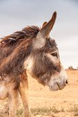 stock photo of wild donkey  - Brown donkey at field at summer - JPG