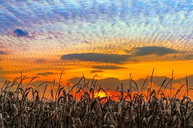 stock photo of glorious  - Autumn cornstalks are backed by a vibrant sunset sky in rural Indiana - JPG