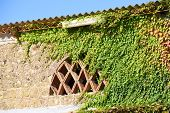 foto of ivy  - Ivy growing on old Italian house in Italy - JPG
